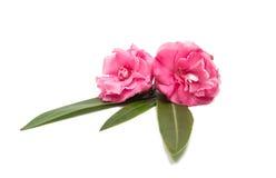 Rosa Oleanderblume lokalisiert Stockfotos
