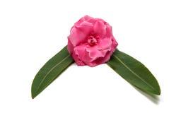 Rosa Oleanderblume lokalisiert Lizenzfreies Stockfoto