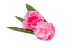 Rosa Oleanderblume lokalisiert Lizenzfreie Stockfotos