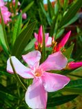 Rosa oleandernerium i sommarsolljus Royaltyfria Foton