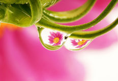 rosa opuszcza odbicie Obrazy Stock