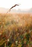 rosa opuszcza pająk sieć Fotografia Stock