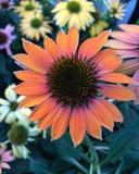 Rosa Orangish immagini stock