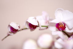 Rosa Orchid Fotografering för Bildbyråer
