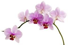 Rosa Orchid Arkivbild