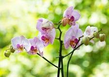 Rosa Orchid Royaltyfri Fotografi