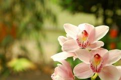 Rosa Orchid Royaltyfri Bild