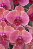 Rosa Orchid Arkivbilder