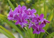 Rosa Orchid Royaltyfria Foton