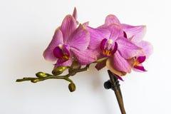 Rosa Orchid Royaltyfri Foto