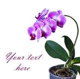Rosa orchid i krukan Fotografering för Bildbyråer