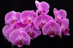 Rosa Orchidblomma Royaltyfri Bild
