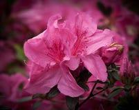 Rosa Orchidblomma Royaltyfria Bilder