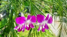 Rosa Orchidblomma Arkivfoto