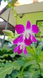 Rosa Orchidblomma Fotografering för Bildbyråer