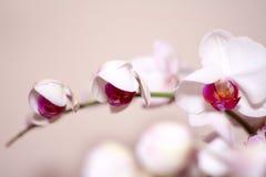 Rosa Orchidee Stockbild