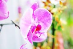 Rosa Orchidee Lizenzfreie Stockfotos
