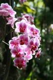 Rosa Orchidee Stockfotografie