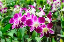 Rosa Orchidee Stockfoto