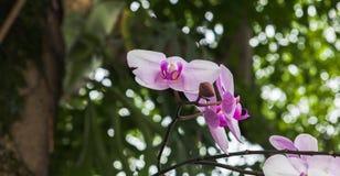 Rosa Orchidee Lizenzfreies Stockfoto