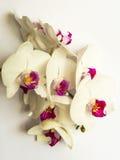 Rosa Orchidee Stockbilder