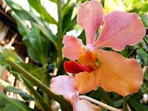 Rosa Orchidee lizenzfreie stockfotografie