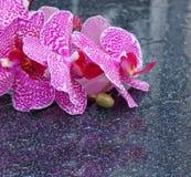 Rosa Orchidee mit Wassertropfen lokalisiert auf schwarzem Hintergrund Lizenzfreies Stockfoto