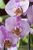 Rosa Orchidee, phalenopsis Stockfoto