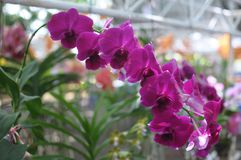 Rosa Orchideen Lizenzfreies Stockbild