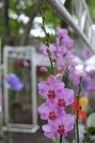 Rosa Orchideen Lizenzfreie Stockbilder