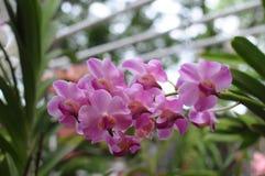 Rosa Orchideen Stockfoto