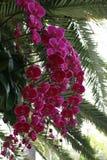 Rosa Orchideen Lizenzfreie Stockfotografie