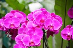 Rosa Orchideen Lizenzfreie Stockfotos