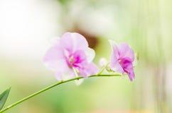 Rosa Orchideen-Blume Stockbild