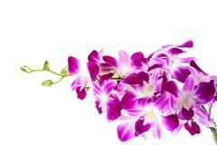 Rosa Orchideen-Blume Stockfoto