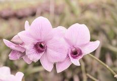 Rosa Orchideen-Blume Lizenzfreie Stockbilder
