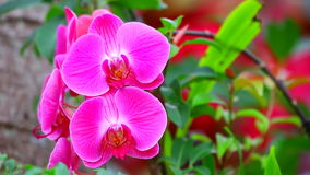 Rosa Orchideen des Phalaenopsis stock video footage