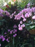 Rosa Orchideen in einem Garten lizenzfreies stockfoto