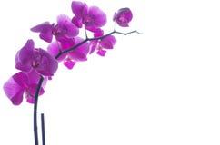 Rosa Orchideen im Tageslicht Stockfoto