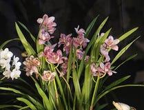 Rosa Orchideenanlagen mit empfindlichen Blüten Stockfoto