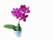 Rosa Orchideenblume Stockbild