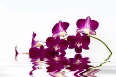 Rosa Orchideenblume Stockfoto