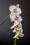 Rosa Orchideenblume Lizenzfreies Stockfoto