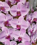 Rosa Orchideenblume Stockfotos