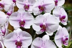 Rosa Orchideenblume Stockfotografie