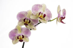 Rosa Orchideenblume Lizenzfreie Stockbilder