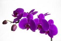 Rosa Orchideenblume Lizenzfreie Stockfotos