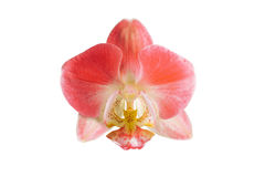 Rosa Orchideenblume auf weißem Hintergrund Lizenzfreie Stockbilder