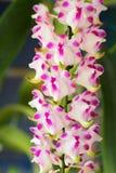 Rosa Orchideenblume in der Natur Stockfotografie