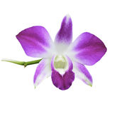 Rosa Orchideenblume lokalisiert auf weißem Hintergrund Stockbild